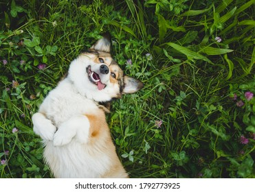 happy and funny, smiling welsh corgi pembroke dog laying down on a grass, with a tongue out, laying down on the back, upside down