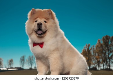 happy furry little chow chow puppy dog wearing red bowtie and panting outside in the fields