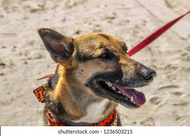 Happy German Shepard dog at the beach.