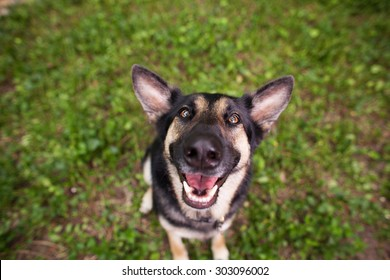 Happy German Shepherd Close Up with Silly Face