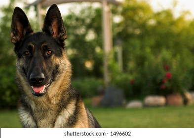 happy german shepherd dog