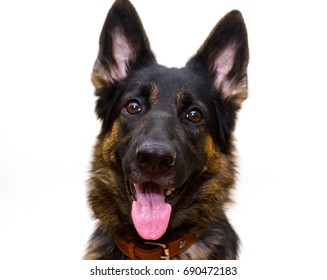 Happy German shepherd isolated on white (selective focus on the dog nose and tongue)
