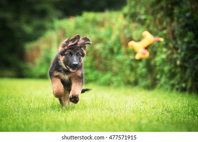 Happy german shepherd puppy playing with a toy