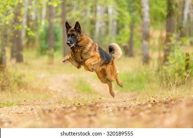 Happy german shepherd running and jumping.