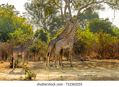 Happy Giraffe family searching for food in Zambia Africa