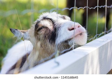 A happy goat leaning on a fence in the farm yard close up