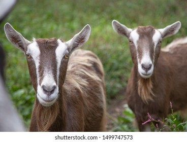 Happy goats in a field at an animal sactuary