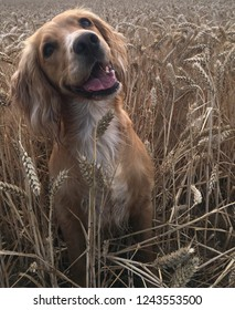 A happy golden Cocker spaniel dog in a field of wheat