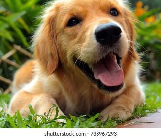 A Happy Golden Retriever
