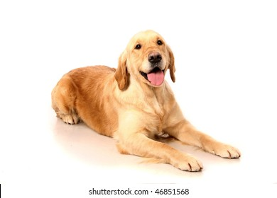 Happy golden Retriever (3 years) in front of a white background