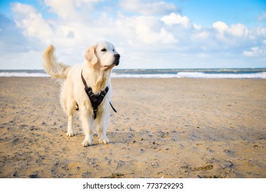 Happy Golden Retriever Dog on the Scheveningen Beach in Holland, Netherlands