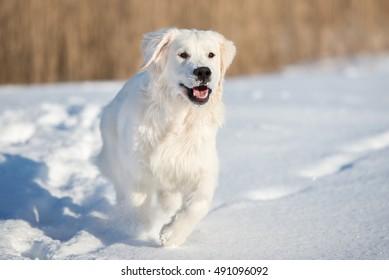 happy golden retriever dog outdoors in winter
