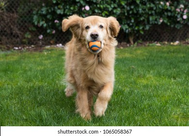 Happy Golden Retriever Dog playing fetch with a ball