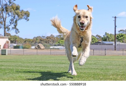 Happy golden retriever dog running with ears flopping