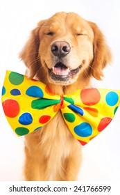 A happy golden retriever dog wearing a colorful polka dot clown tie