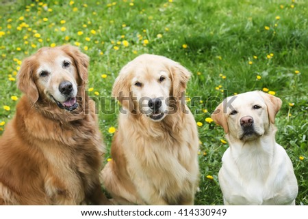 Happy Golden Retriever Lab Pack Stock Photo Edit Now 414330949