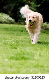 Happy golden retriever playing fetch in the yard.