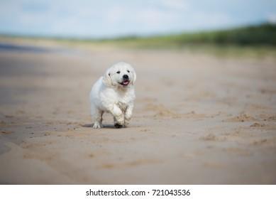 happy golden retriever puppy on the beach