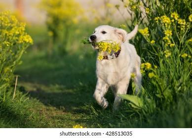 happy golden retriever puppy outdoors