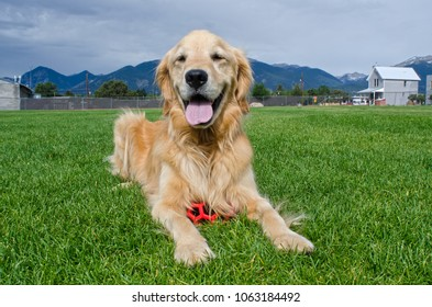 A happy Golden Retriever puppy rests in a grassy field after playing with his red ball.