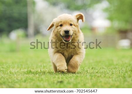 Happy Golden Retriever Puppy Running Through Stock Photo Edit Now