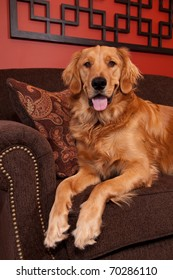 A happy Golden Retriever sitting on the edge of a sofa looking into the camera.