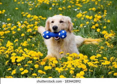 Happy golden retriever with toy