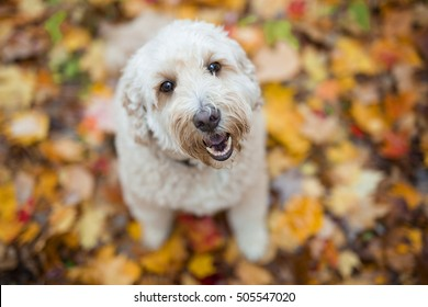 A Happy goldendoodle dog outside in autumn season