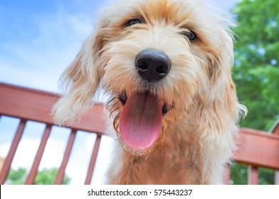 Happy Goldendoodle puppy