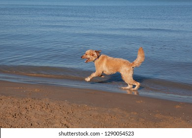 A happy Goldendoodle romps along the shoreline at Montrose Dog Beach in Chicago