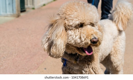 Brown Toy Poodle Puppy Stock Photo (Edit Now) 579458527