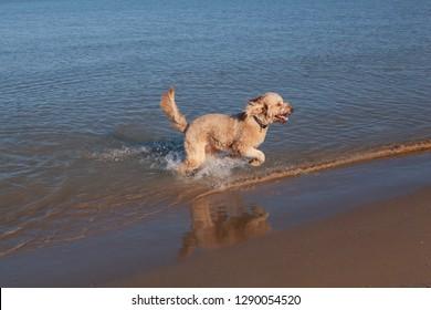 A happy Goldendoodle splashes as he runs along the Lake Michigan shoreline