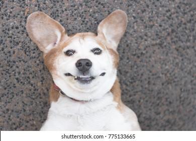 Happy goofy beagle dog looking up at camera