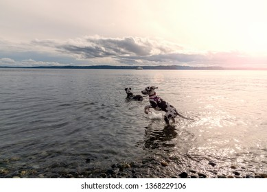 Happy great dane puppy jumping while in the water with adult dane late day sun.