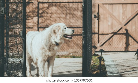 A happy Great Pyrenees next to a fence