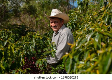 Happy guatemalan farmer collecting Arabica coffee beans on the coffee tree.