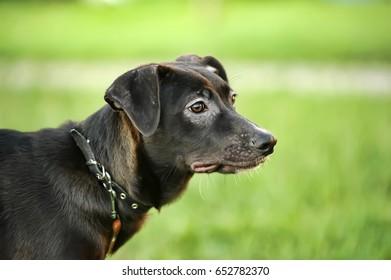 Happy half-breed dog, beagle, black mongrel dog barks