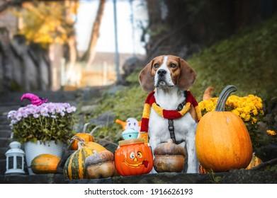 Happy Halloween. Dog Pet Beagle with pumpkins