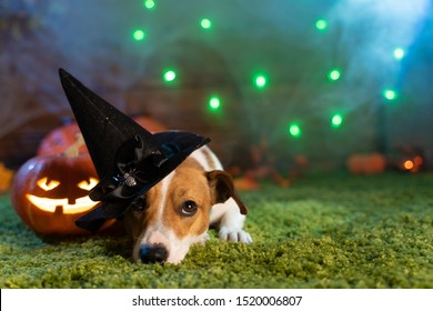 Happy Halloween. Dog Pet Jack Russell Terrier In Costume And On The Background Of Pumpkins Smoke Lanterns Skeletons For Halloween Scary