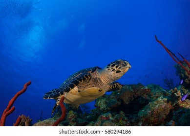 A happy hawksbill turtle at home on the tropical Caribbean reef. This warm water marine habitat offers food and sanctuary to a diverse range of species, this reptile is one of many