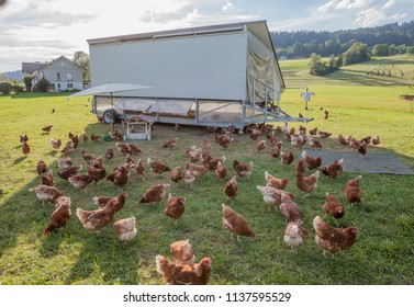 happy and healthy chickens i a mobile chicken home for organic poulty keeping in a chicken farm in Vorarlberg ,Austria