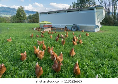 happy and healthy chickens in a mobile chicken home for organic poulty keeping in a chicken farm in Vorarlberg ,Austria