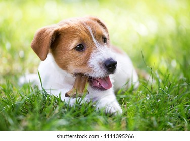 Happy healthy Jack Russell Terrier dog puppy chewing bone for cleaning teeth