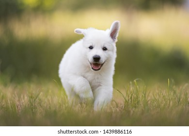 Happy healthy white shepherd puppy is running on the meadow. Berger blanc Suisse. Cute puppy.