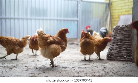 Happy hens in cage free or free range and antibiotic and hormone free farming. Chickens on the farm.