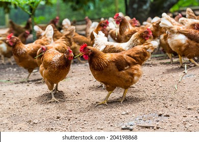 Happy hens in cage free or free range and antibiotic and hormone free farming