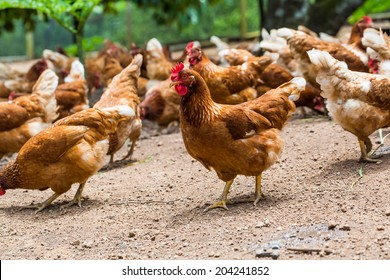 Happy hens in cage free or free range and antibiotic free and hormone free farming