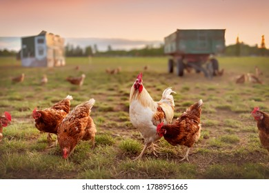 happy hens in the meadow