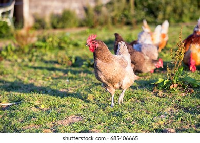Happy hens scratching about outisde in the sunshine on a high welfare poultry farm in Pembrokeshire, Wales.