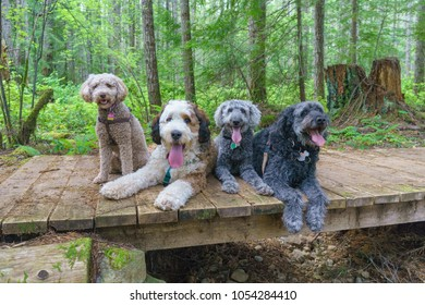 Happy hiking dogs.  Mini Goldendoodle, Bernedoodle, Labradoodle and Goldendoodle.